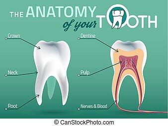 Anatomía vector de dientes