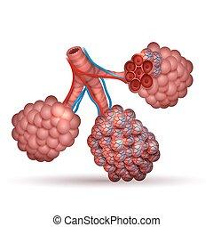 anatomy-, oxígeno, pulmones, diminuto, aire, alveoli, espacios, por, dioxide., intercambios, carbón