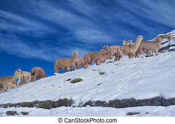 andes, llamas, manada