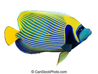 angelfish, emperador