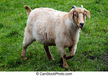 Animales de granja, cabra