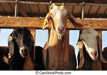 Animales de granja, cabras