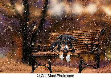 appenzeller, sennenhund, invierno, banco, perro