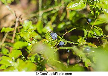 Arándanos en los arbustos