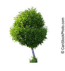 arbusto, boj, aislado