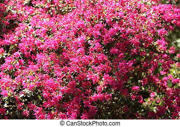 Arbusto de azalea rosa