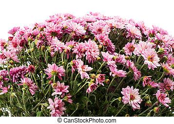 Arbusto de crisantemos rosados