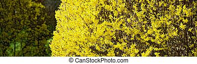 Arbusto de Forsythia Amarillo