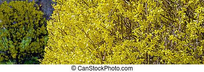 arbusto, forsythia, floreciente