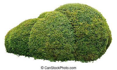 Arbusto ornamental