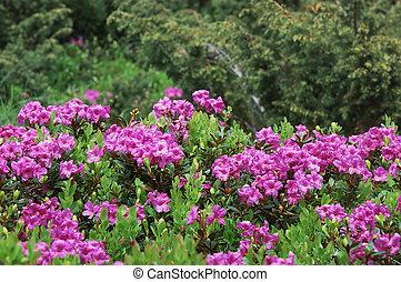 Arbusto rododendro floreciente