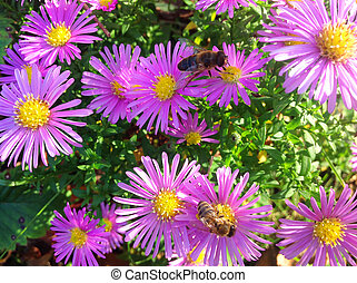 arbusto, rosa, crisantemos