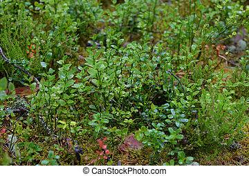arbustos, closeup., arándano