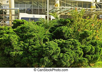 arbustos coníferos verdes afuera