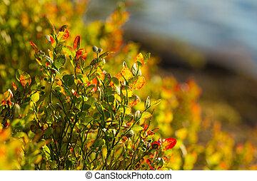 arbustos de arándanos
