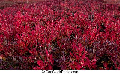 arbustos de arándanos rojos girando colores en otoño