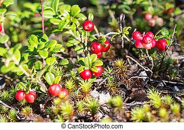 Arbustos de bilberry