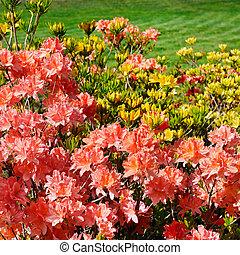 Arbustos de rododendro floreciente