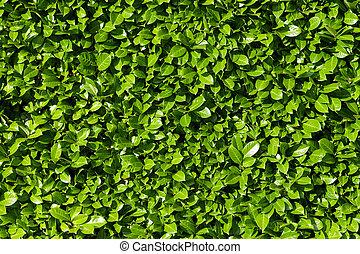 arbustos, laurel, seto, hojas verdes