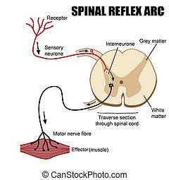 Arco reflejo espinal