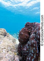 arrecife, maldivas, pulpo, ari-atoll., sentado
