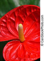 arriba, anthurium, uno, flor, cierre, rojo