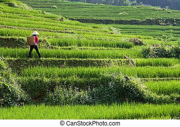arrozal, arroz, vietnam, granjero