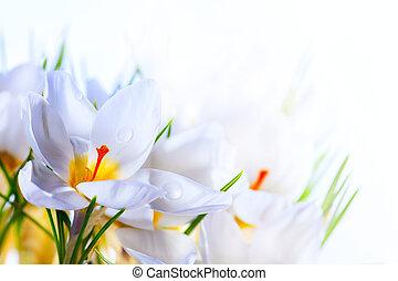 Arte hermoso primavera, flores blancas de croco en blanco fondo