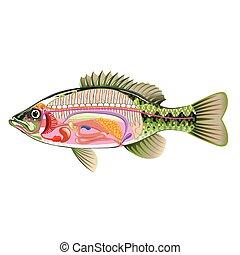 Arte vectorial de órganos internos de peces