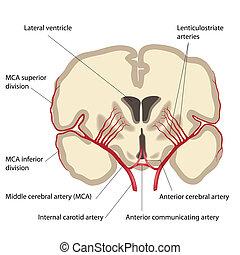 Arteria cerebral media, eps8