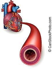 Arteria sana y anatomía cardíaca