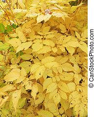 Aruncus dioicus en otoño