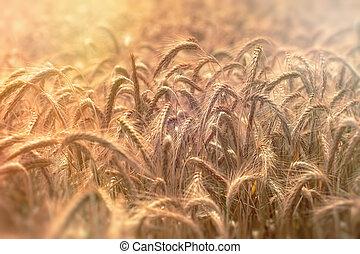 Atardecer en el campo de trigo