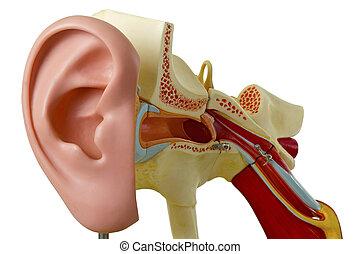 auditivo, modelo, canal