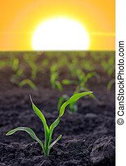 Aumentando el maíz en el área agrícola