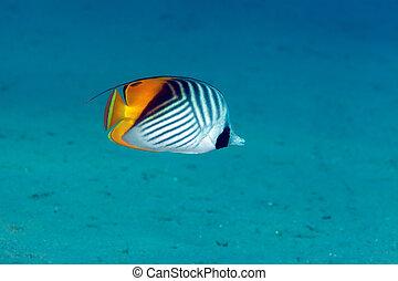 auriga), butterflyfish, (chaetodon, sea., threadfin, rojo