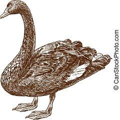 australiano, cisne, dibujo, negro, grabado, oeste, ilustración