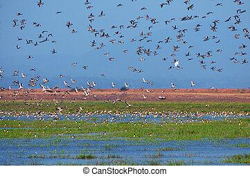 aves, migratorio