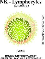 ayudante, structure., lymphocytes., aislado, vector, infographics., linfocitos, cells., nk, ilustración, fondo., immunity, funciones