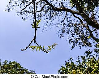 azadirachta, azadirachta, él, nimtree, género, subcontinent., o, uno, especie, nativo, indica, conocido, familia , meliaceae., neem, dos, comúnmente, árbol, indio, caoba, lila