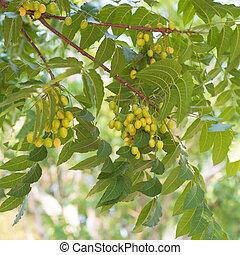 Azadirachta indica semillas colgando de árbol, comúnmente conocidas como neem, neem árbol o lila india