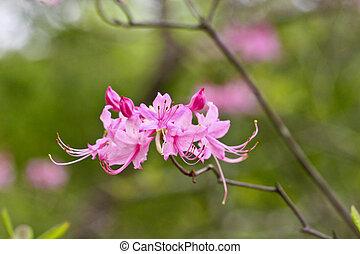 Azalea salvaje rosada