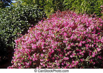 Azaleas púrpura floreciendo en verano