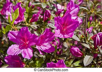 Azaleas púrpura