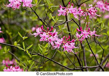 Azaleas rosas silvestres
