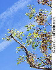 azedarach, árbol, melia