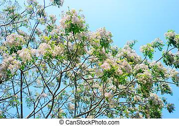 azedarach, melia, trópicos, árbol