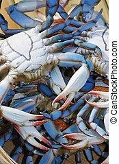 azul, cangrejos, chesapeake