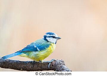azul, cyanistes, teta, herrerillo, caeruleus, comun, perched, rama, o