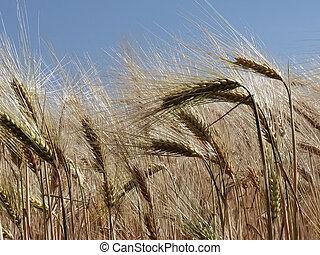 azul, maduro, cielo, amarillo, verano, trigo